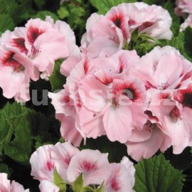 Grand. Růžový Pelargónie