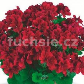 Grand. Velvet Red Pelargónie