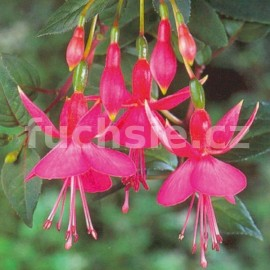 Display Fuchsie (Smith  GB  1881)- mrazuvzdorná