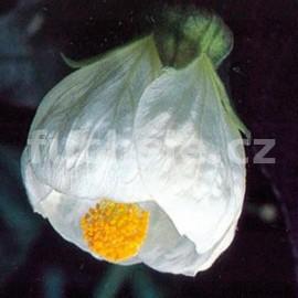 Abutilon bílý (Podslunečník, mračňák, pokojová lipka)