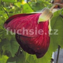 Abutilon červený ( Mračňák, podslunečník, pokojová lipk)