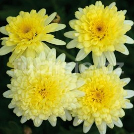 Argyranthemum žlutá (Pařížská kopretina)