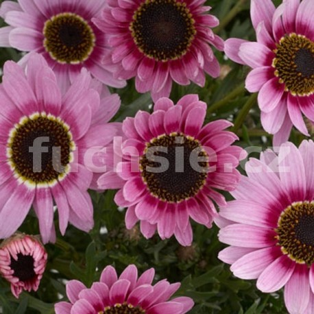 Přížská kopretina (Argyranthemum Reflektion Pink )
