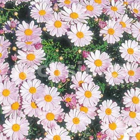 Argyranthemum růžová