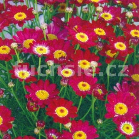 Argyranthemum červené