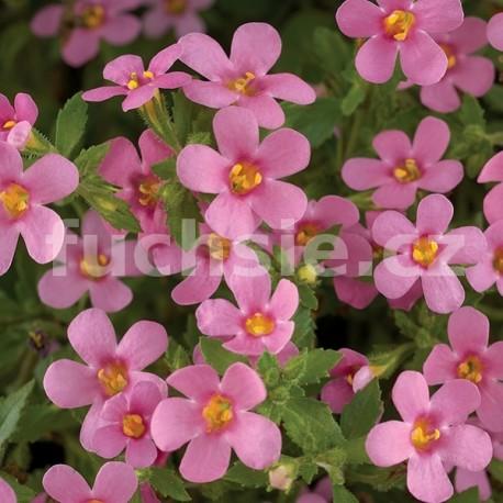 Bacopa sutera růžová (růžová)