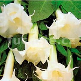 Brugmansia bílá- Durman (plnokvětá datura)