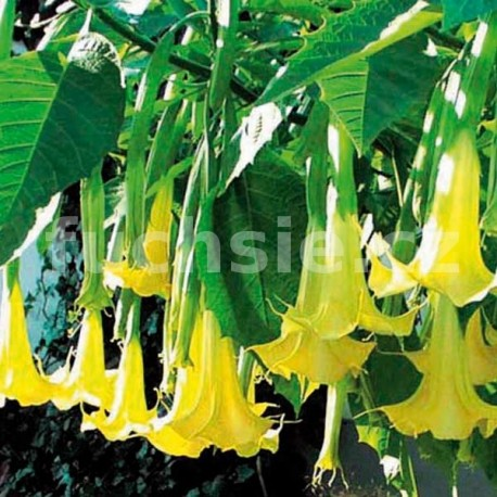 Brugmansia žlutá- Durman (Datura)