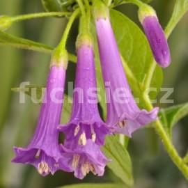 Acnistus Australis-fialový