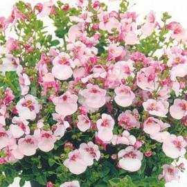 Diascie růžová (Ostruhatka)