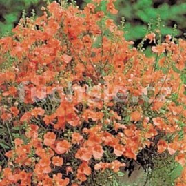 Diascia oranžová