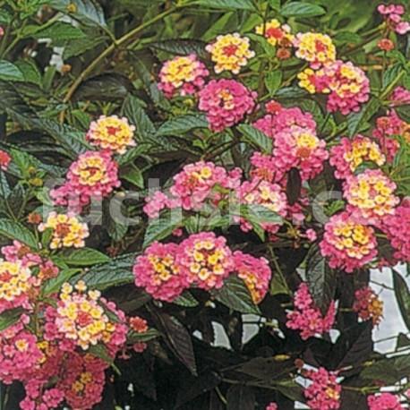 Lantana Camara růžová (Libora měňavá)