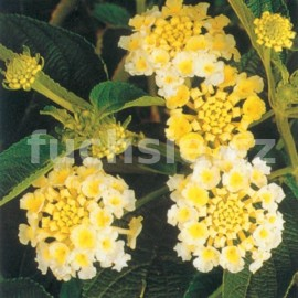 Lantana Camara žlutá (Libora měňavá)