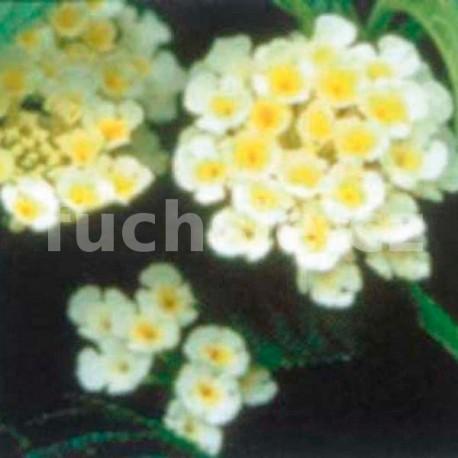 Lantana Camara bílá (Libora měňavá)