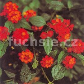 Lantana Camara červená (Libora měňavá)