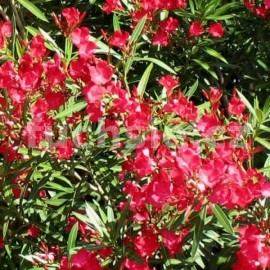 Oleandr červený-Nerium