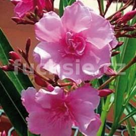 Oleandr růžový-Nerium