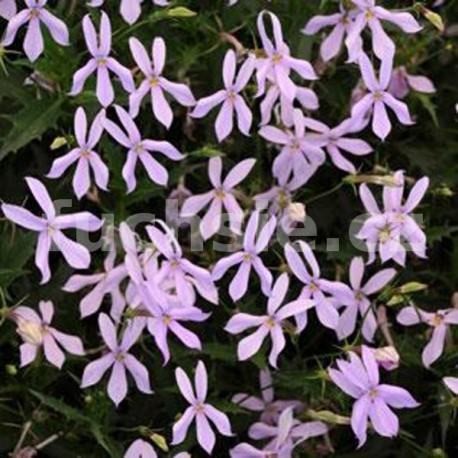 Isotoma-Laurentia Gemini- růžová