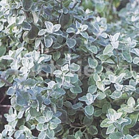 Helichrysum Patiolare