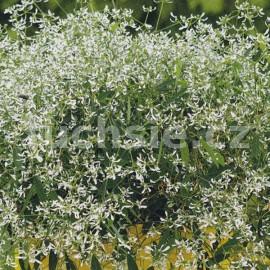 Sněhová vánice (Euphorbia Chamaesyce)