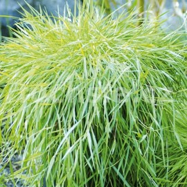 Bambus převislý