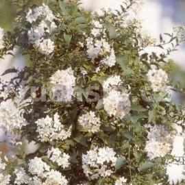 Lilek Solanum Jasminoides