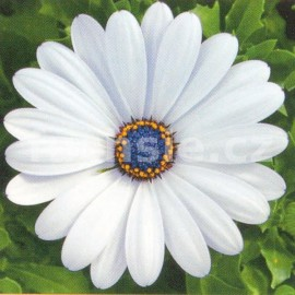 Osteospermum bílý