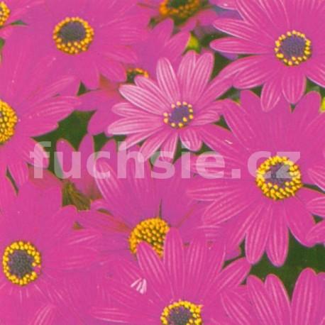 Osteospermum fialový