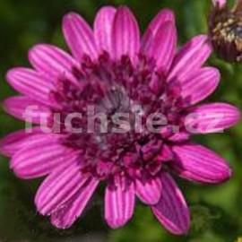 Osteospermum fialové