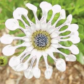 Osteospermum bílé