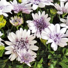 Osteospermum- bílá plná