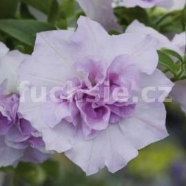 Surfinie lila