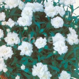 Převislé hvozdíky Karafiát-bílý