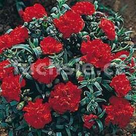 Převislé hvozdíky karafiát-červený