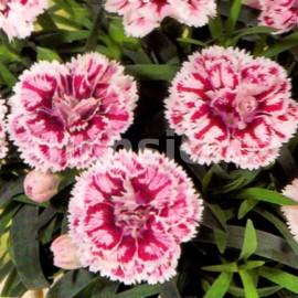Hvozdík (Dianthus caryophyllus- Sissi)