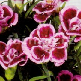 Hvozdík (Dianthus caryophyllus-Fredo)