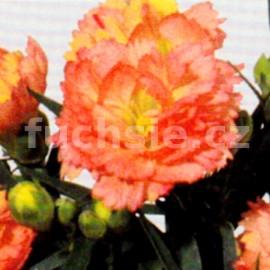 Hvozdík Dianthus caryophyllus-Sorbet  (hvozdík)