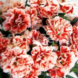Hvozdík Dianthus   caryophyllus (hvozdík)