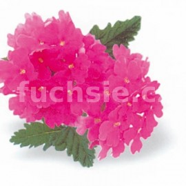 Verbeny růžová