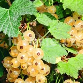 Ribes White  (Rybíz bílý)