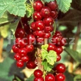 Ribes Romada Rybíz červený (Rybíz červený)