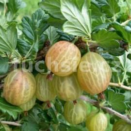 Ribes Uva - Cripsa, Angrešt (angrešt)