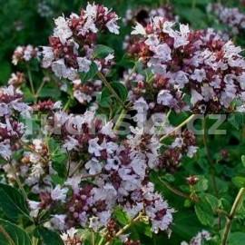 Dobromysl (Origanum Vulgare)