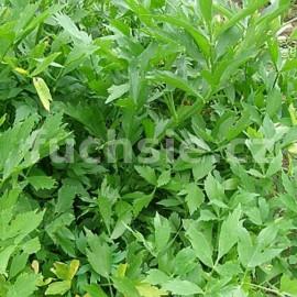 Libeček (Levisticum Officinale)