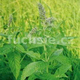 Máta peprná (Mentha Piperata)
