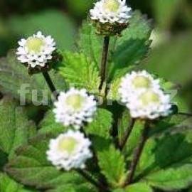 Lipie Aztécká (Lippia dulcis Colada)