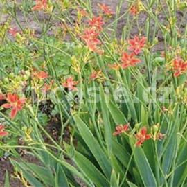 Belamcanda Chinensis (Angínovník)