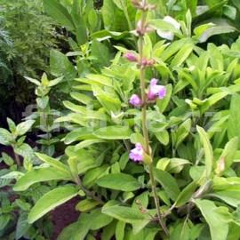 Šalvěj ananasova (Salvia rutino Pino)