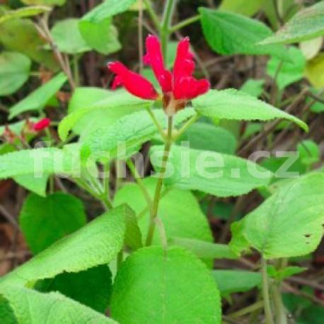 Šalvěj melounová (Salvia elegans Mello)