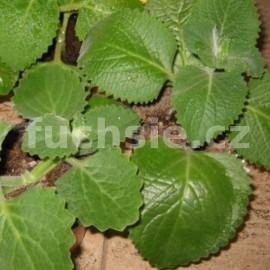 Citronový rýmovník (Plectranthus amboinicus )